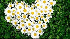 Отзыв: Ромашка - желтый с белым семицветик